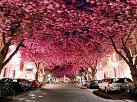 ドイツ ボン 桜1