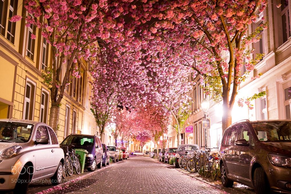 ドイツ ボン 桜2