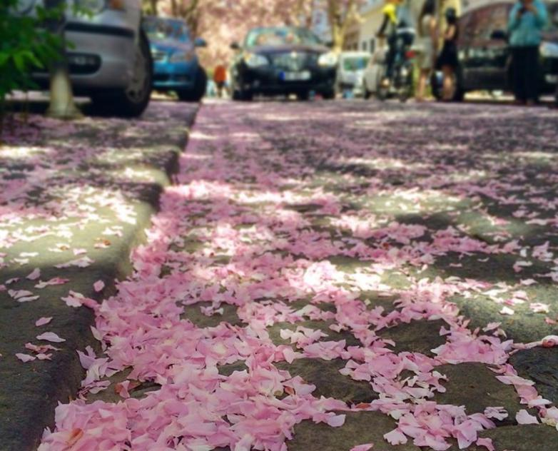 ドイツ ボン 桜4