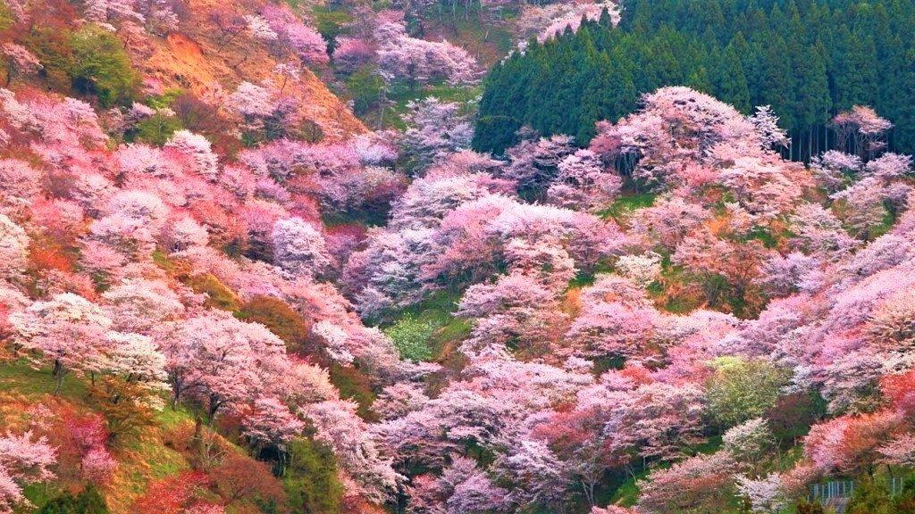 吉野の千本桜1
