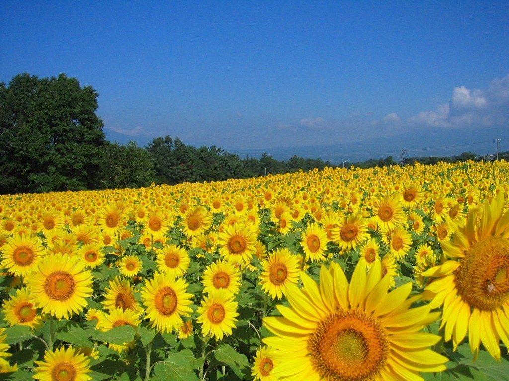 sunflower_eye