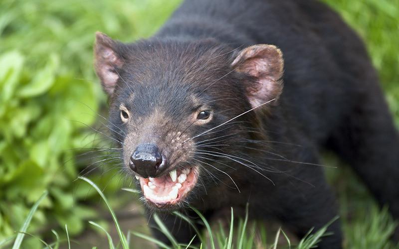 tasmania_devil