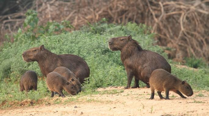 patanal_capybara