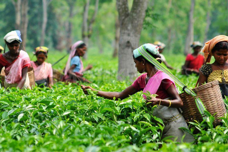 India_Tea