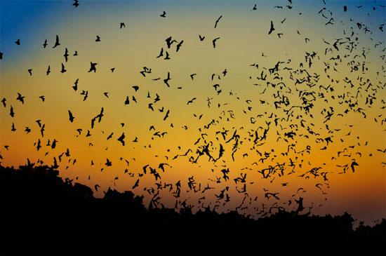 bats flight