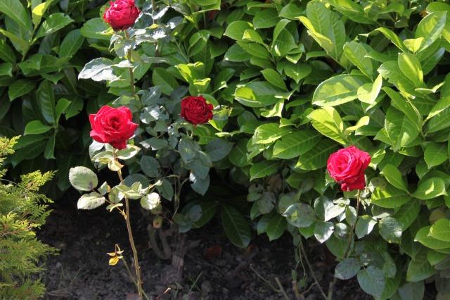 rose_festival_1